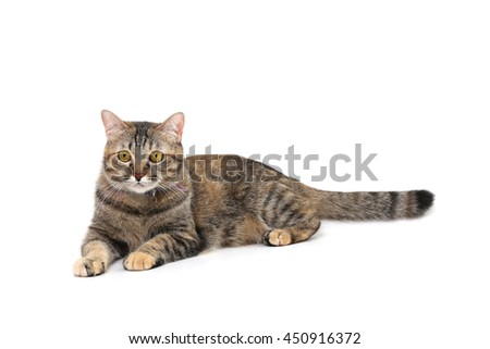 The tabby cat on white background. - stock photo