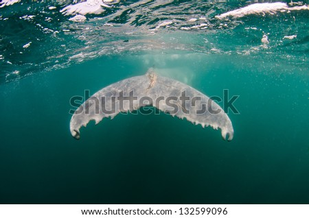 The tail of a humpback whale calf in the Indian Ocean - stock photo