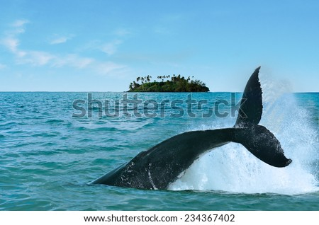 The tail of a Humpback Whale (Megaptera novaeangliae) rise above the water against a motu (small island) in Rarotonga Cook Islands - stock photo