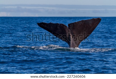 The tail of a Sperm Whale diving. Shot near kaikoura New Zealand - stock photo