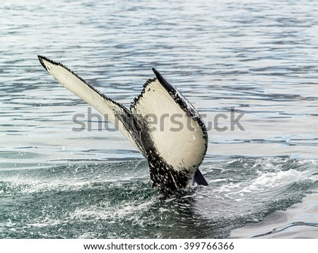 The tail of a whale out of the water - Iceland - stock photo