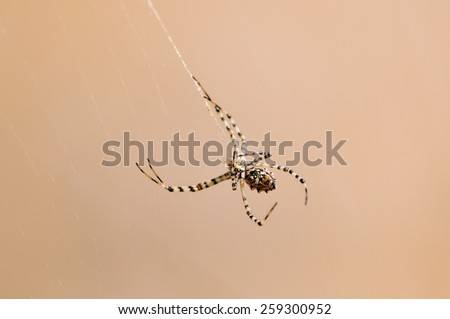 The Tarantula spider - stock photo