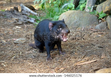 the tasmanian devil is letting out a long snarl - stock photo
