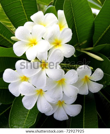 the temple flower - stock photo