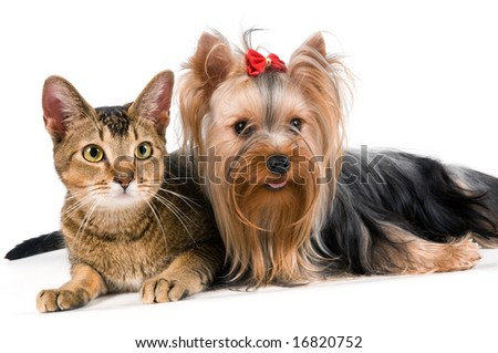 The terrier and cat in studio