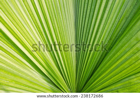 the Texture background of green palm leaf