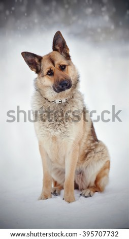 The thoroughbred dog a sheep-dog sits on on snow. - stock photo