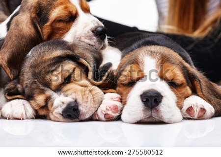 The three beagle Puppies, 1 month old,  sleeping in front of white background  - stock photo
