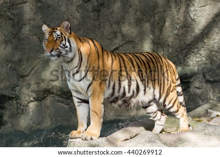 The tiger is starring at something. - stock photo