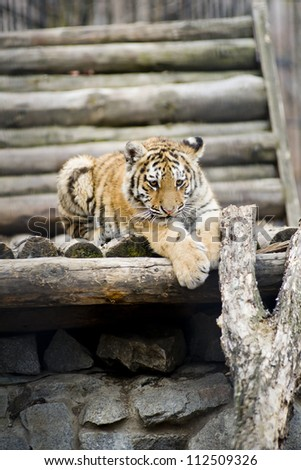 The tiger lies on a tree. - stock photo