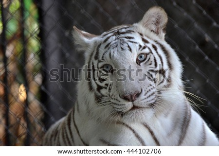 The tiger lived in the zoo's cage in the daytime