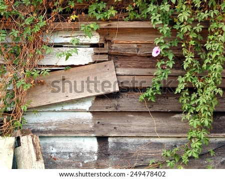 The timber wall of an old woodshack with green vines