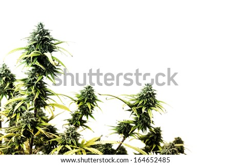 The top of marijuana plant isolated over white background