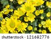 The top view of yellow Chrysanthemum for backgrond use - stock photo