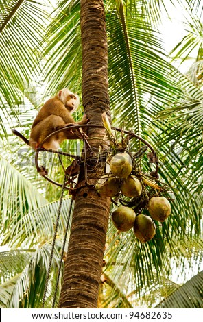 The traditional use of the Pig-tailed monkey for the harvest of coconuts - stock photo