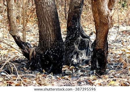 the tree forest after the fire - stock photo