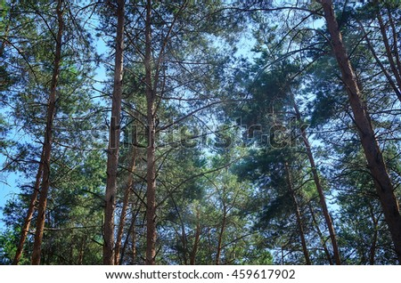 The trees in the pine forest against the blue sky at sunny day - stock photo