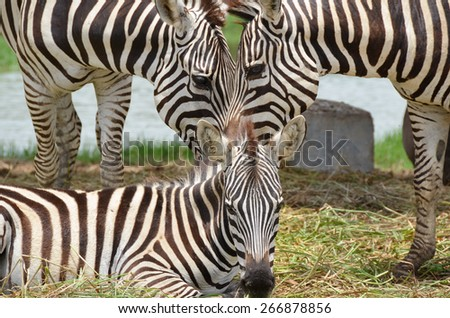 The Triangle-shaped Faces of Zebra Family