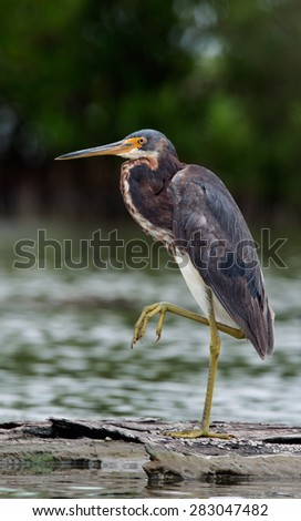 The tricolored heron (Egretta tricolor), formerly known in North America as the Louisiana heron, is a small heron. - stock photo
