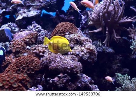The tropical yellow tang fish in an Aquarium