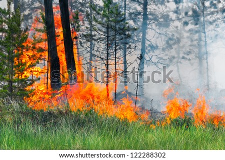 The trunks of pine trees burning in forest fire, Russia, Siberia - stock photo