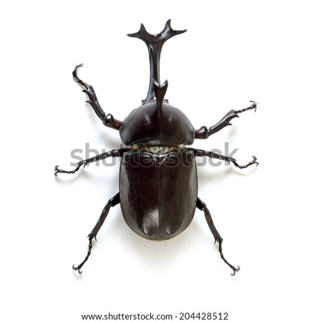 The Trypoxylus dichotomus is a very common Japanese beetle. - stock photo