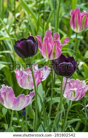 The tulip is a perennial, bulbous plant with showy flowers in the genus Tulipa - stock photo