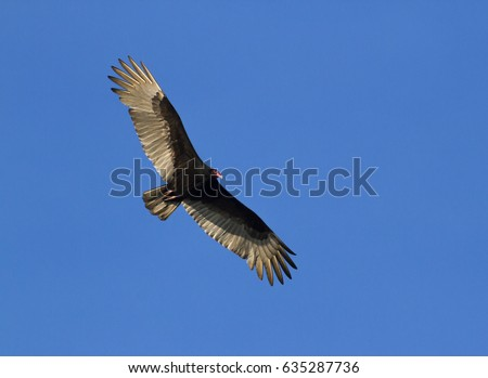 The turkey vulture, also known in some North American regions as the turkey buzzard at Aransas national wildlife refuge