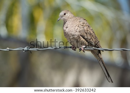 The turtledove is on the barbed wire.