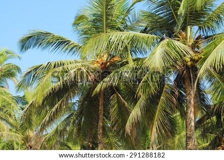 The two green palms with thick foliage on the foreground. Some of the palm leaves are in focus. On the background is a blue sky.