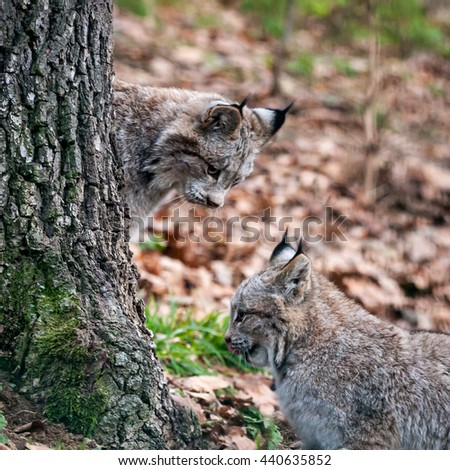 the two kittens of the canadian lynx are playing in tree, portrait