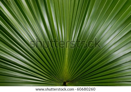 The underside of a palmate palm frond. - stock photo