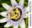 The unusual flower of a passion flower plant. - stock photo