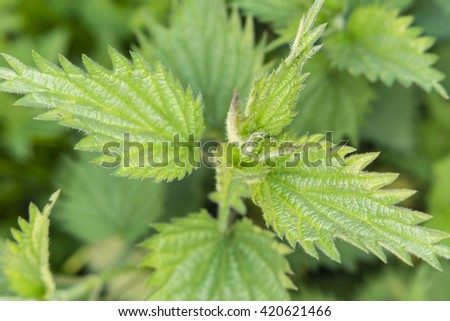 the upper part of nettles with fresh green leaves