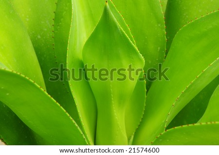 The verdure leaves of century plant or American aloe background.