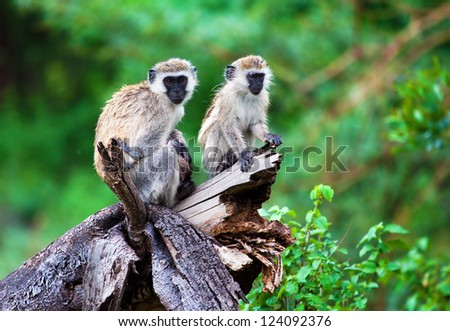 The vervet monkey in bush in Lake Manyara National Park, Tanzania.