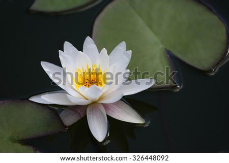 the very juicy blooming Lotus in the pond close up - stock photo