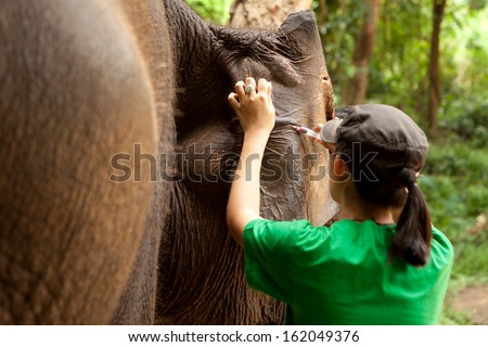 The veterinarian collecting blood sample from ear vein vessel of Asian elephant - stock photo