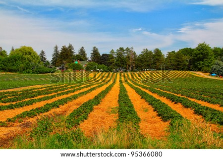 The view of the green and yellow strawberry field with blue sky