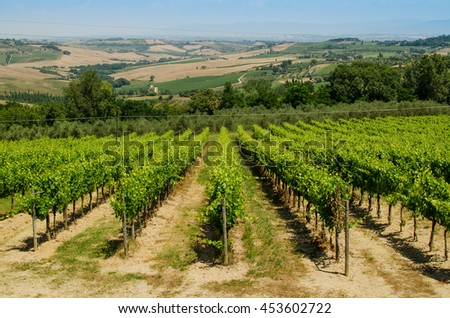 The vinery of Tuscany with hills as a background, Italy