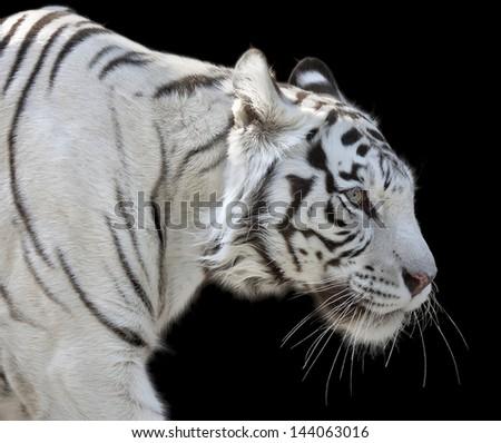 The walking white bengal tiger female, named Kali. Isolated on black background. - stock photo