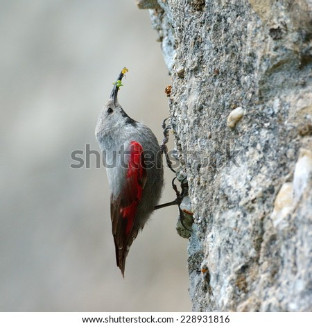 The Wallcreeper (Tichodroma muraria) in natural habitat - stock photo