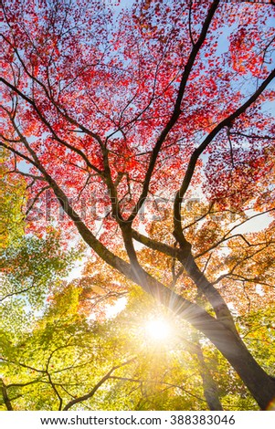 The warm autumn sun shining through colorful treetops, with beautiful bright blue sky. Vertical composition. - stock photo