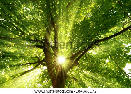 The warm morning sun dramatically casting intense rays through a large tree - stock photo