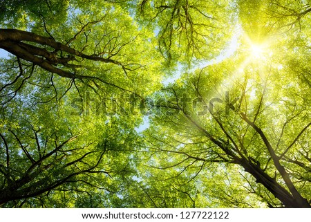 The warm spring sun shining through the canopy of tall beech trees - stock photo