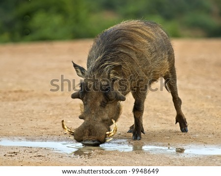 The Warthog is a real character of the African Bush - stock photo