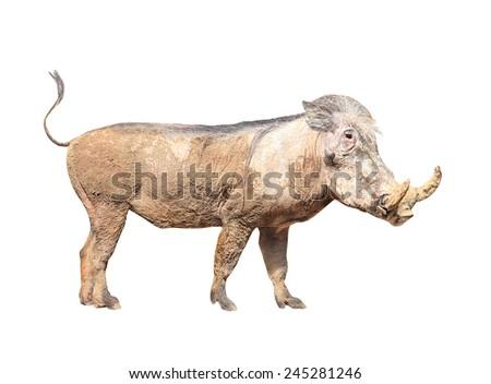 The Warthog (Phacochoerus africanus). Dangerous african mammal. - stock photo