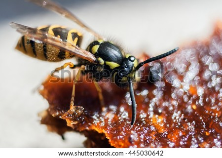 the wasp eating apple fruit jelly - stock photo