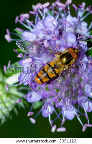"the wasp on the ""Succisa pratensis Moench"" - stock photo"