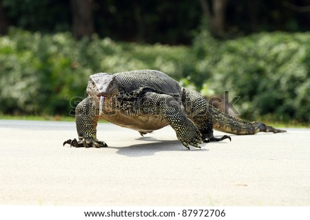The Water monitor, (Varanus salvator) the large species of monitor lizard - stock photo